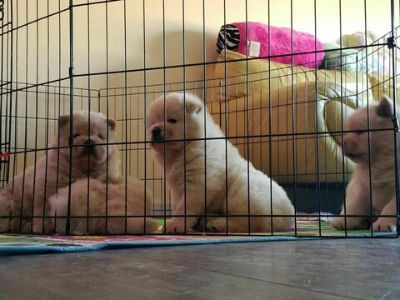 Chow Chow PUPPY FOR SALE ADN-113185 - Beautiful Chow Chow Puppies