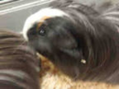 Adopt LUCY a Black Guinea Pig / Mixed small animal in Van Nuys, CA (25855412)