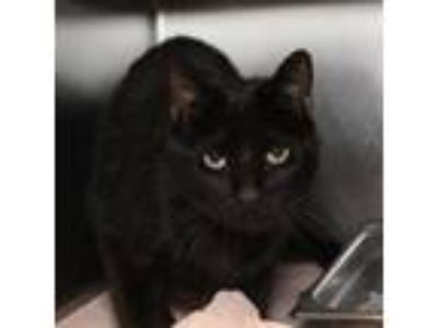 Adopt Mark a All Black Domestic Shorthair / Domestic Shorthair / Mixed cat in