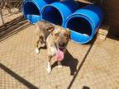 Adopt Mayhem a Brindle - with White German Shepherd Dog / Dutch Shepherd / Mixed