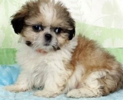 unequaled Shih tzu puppies available