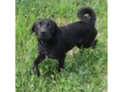 Adopt Molly a Black Labrador Retriever / Mixed dog in Gainesville, TX (25365823)