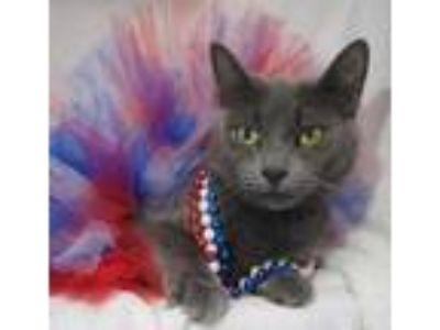 Adopt Bomba a Gray or Blue Domestic Shorthair / Domestic Shorthair / Mixed cat