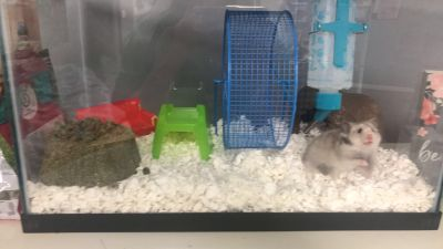 Hamster cage set-up with Hamster!