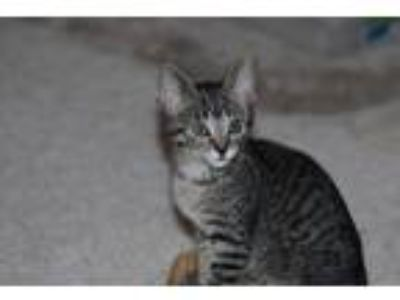 Adopt Camille a Brown Tabby Domestic Shorthair cat in Parlier, CA (25583788)