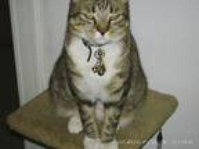Adopt Sheba a Brown Tabby Domestic Mediumhair / Mixed cat in Philadelphia