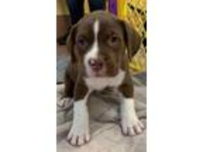 Adopt Zeke a Brown/Chocolate Terrier (Unknown Type, Small) / Mixed dog in