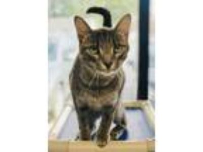 Adopt Dill a Gray or Blue Domestic Shorthair / Mixed (medium coat) cat in