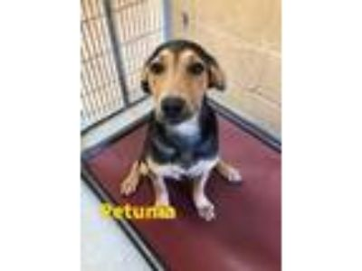 Adopt Petunia 116202 a Black Hound (Unknown Type) / Shepherd (Unknown Type) dog