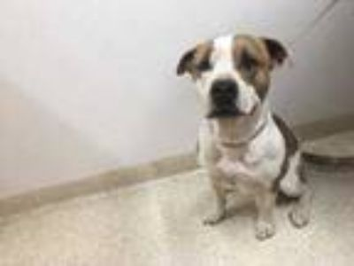 Adopt Bram a White American Pit Bull Terrier / Mixed dog in Carson City