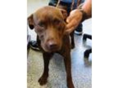 Adopt Buttermilk a Brown/Chocolate Retriever (Unknown Type) / Mixed dog in