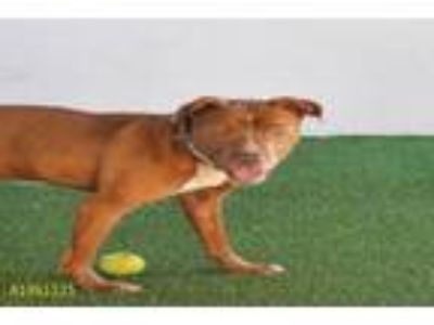 Adopt TIM a Pit Bull Terrier
