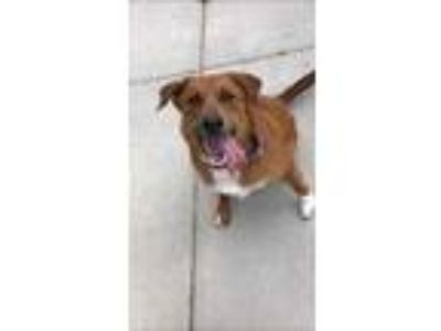 Adopt Caprice a Brown/Chocolate Chow Chow / Labrador Retriever / Mixed dog in