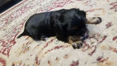 Cavalier King Charles Spaniel PUPPY FOR SALE ADN-62976 - AKC Peter