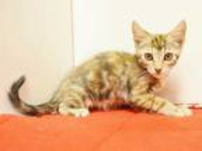 Adopt *SHELLY a Brown or Chocolate (Mostly) Domestic Shorthair / Mixed (short