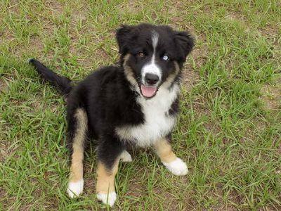 Australian Shepherd PUPPY FOR SALE ADN-71144 - Aussie one fourth Mini Aussie with Tails