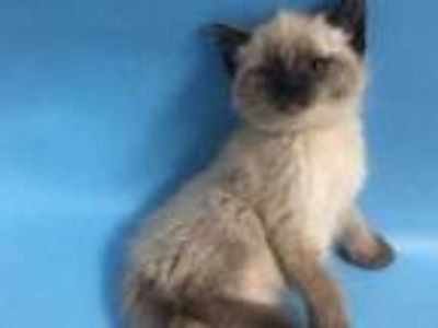 Adopt Lilac a Gray or Blue Siamese / Domestic Shorthair / Mixed cat in St.