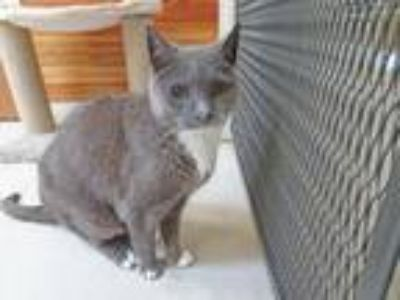 Adopt Otis a Gray or Blue (Mostly) Domestic Shorthair / Mixed (short coat) cat