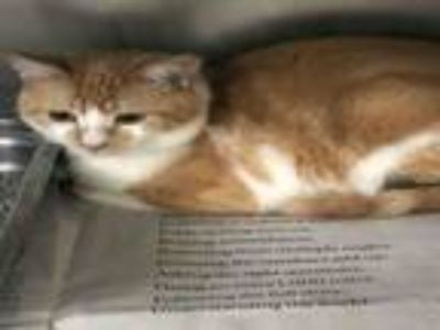 Adopt LINEAL a Domestic Short Hair