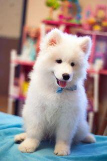 Samoyed PUPPY FOR SALE ADN-102067 - Purebred Samoyed Puppies