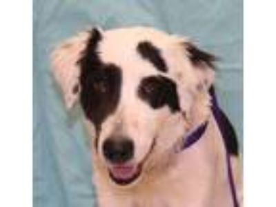 Adopt Marshall a White Border Collie / Great Pyrenees dog in Forrest City