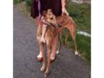 Adopt Rae Rae a Greyhound