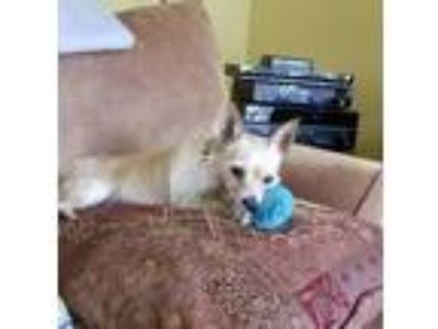 Adopt Quincy a Wire Fox Terrier