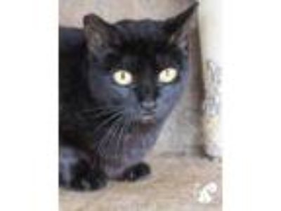 Adopt Orchid a All Black Domestic Shorthair / Domestic Shorthair / Mixed cat in