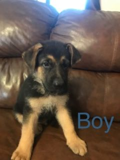 German Shepherd Dog PUPPY FOR SALE ADN-95468 - AKC German Shepherd puppies