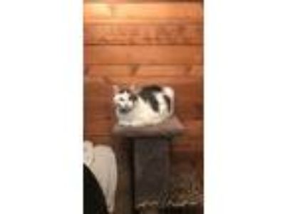 Adopt Stoney a White (Mostly) Domestic Longhair / Mixed cat in Harveys Lake