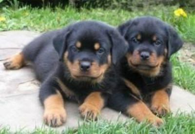 Full blooded German Rottweiler puppies ready to go we are taking deposits