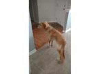 Adopt Rusty a Tan/Yellow/Fawn - with White Golden Retriever dog in Ephrata