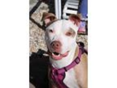Adopt Princess a White - with Red, Golden, Orange or Chestnut American