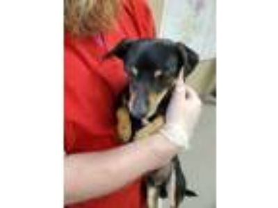 Adopt Harvey 14330 a Black Rat Terrier dog in Joplin, MO (25877444)