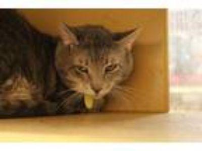 Adopt CAT5 a Gray, Blue or Silver Tabby Domestic Shorthair / Mixed (short coat)