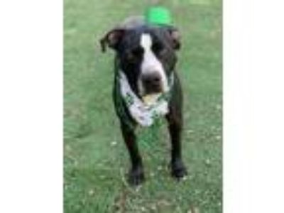 Adopt Punk a Pit Bull Terrier, Boxer
