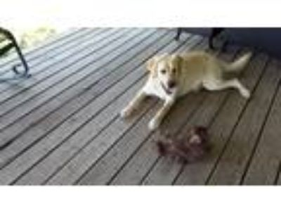 Adopt Honey a White - with Tan, Yellow or Fawn Labrador Retriever dog in Clear