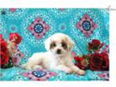 Teddy _Toy Poodle