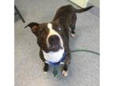 Adopt Alaska a Pit Bull Terrier, Mixed Breed