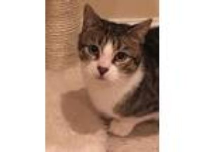 Adopt Dixie a Spotted Tabby/Leopard Spotted Domestic Shorthair / Mixed cat in