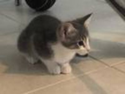 Adopt SONNIE a Gray or Blue (Mostly) Domestic Shorthair / Mixed (short coat) cat