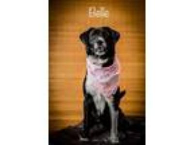 Adopt Belle a Black Labrador Retriever / Mixed dog in North Myrtle Beach