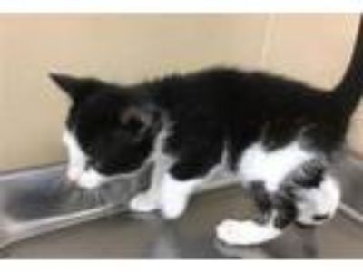 Adopt Freddie Mercury a Domestic Short Hair