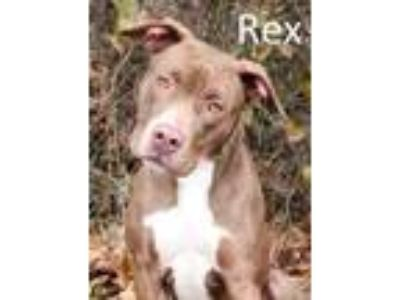 Adopt Rex a Red/Golden/Orange/Chestnut Mixed Breed (Large) / Mixed dog in