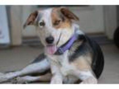Adopt Lettie a Australian Cattle Dog / Blue Heeler, Collie