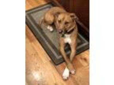 Adopt Carmen a Tan/Yellow/Fawn - with White American Pit Bull Terrier / German
