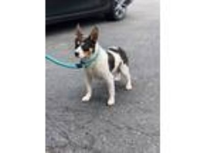 Adopt Rocket a White - with Brown or Chocolate Rat Terrier / Mixed dog in