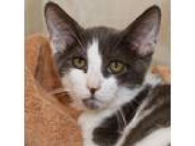 Adopt Dewey a Gray or Blue Domestic Shorthair / Domestic Shorthair / Mixed cat