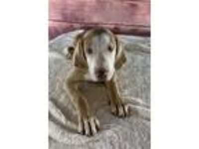 Adopt Sonny a Brown/Chocolate - with White Vizsla / Hound (Unknown Type) dog in