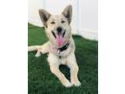 Adopt Layla a Husky, German Shepherd Dog